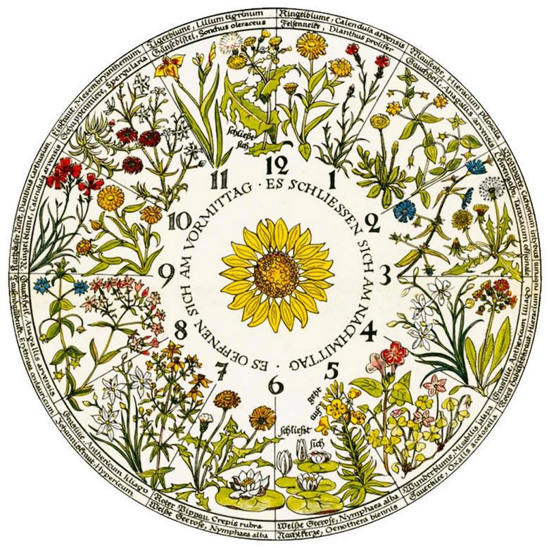 Цветочные часы Карла Линнея