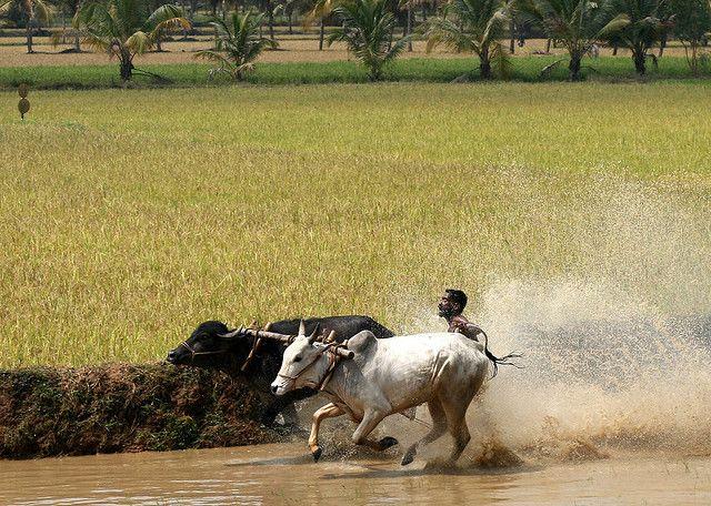 Гонки на бычьих упряжках на фестивале Анандапалли Марамади (Индия)