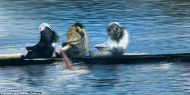 Олимпийские морские свинки: календарь к лондонским Играм 2012 (Англия)